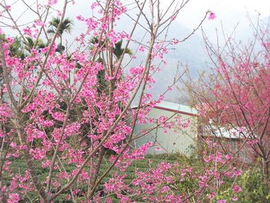 達邦村櫻花