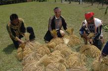 布農族人整理收割後的小米穗
