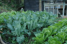 種植的蔬菜